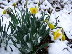 Spring Snow Daffodils by Forestwander Nature for Wikimedia
